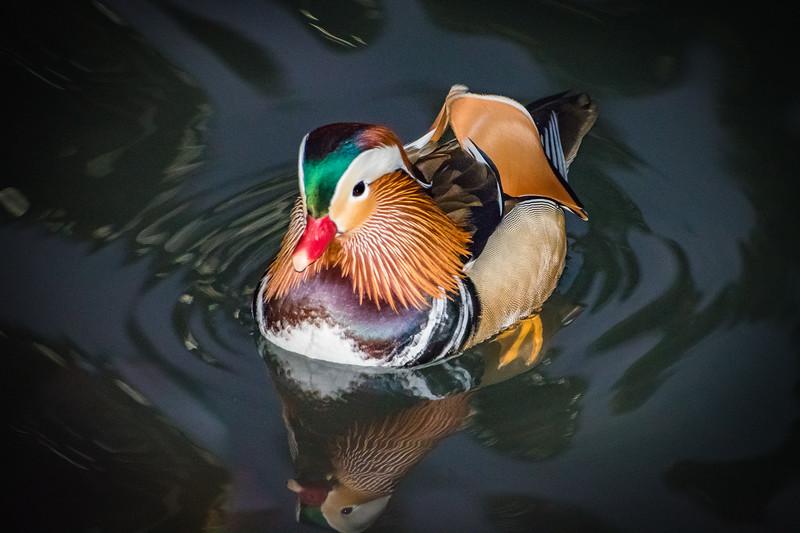 2018 12-11 Mandarin Duck Central Park NYC-40_Full_Res
