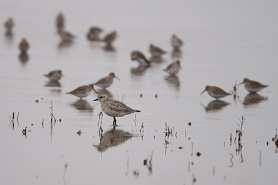 Black bellied Plover and friends