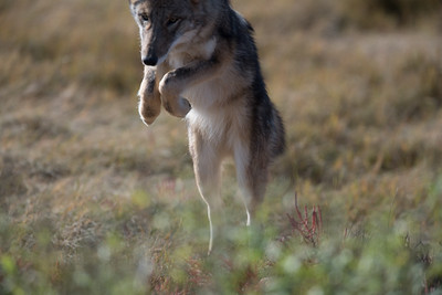 Coyote pouncing on its prey