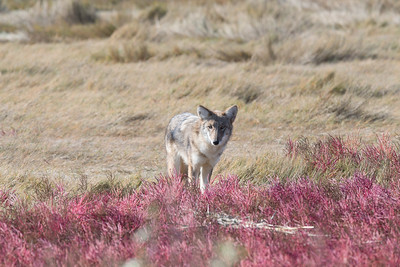 Coyote checking out the attention