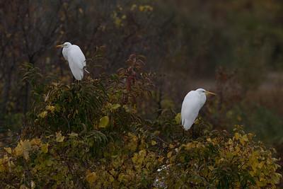 Great Egrets relaxing in tree