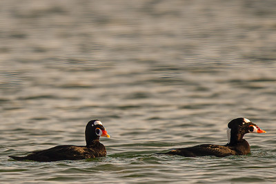 Pair of Surf Scoters