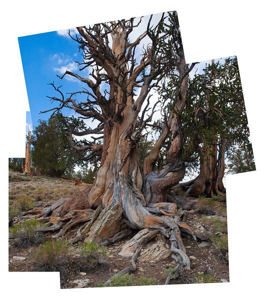 Bristlecone Pine, Shulman Grove