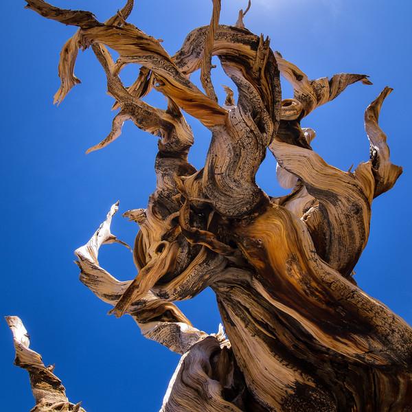Contorted Bristlecone Tree Limb