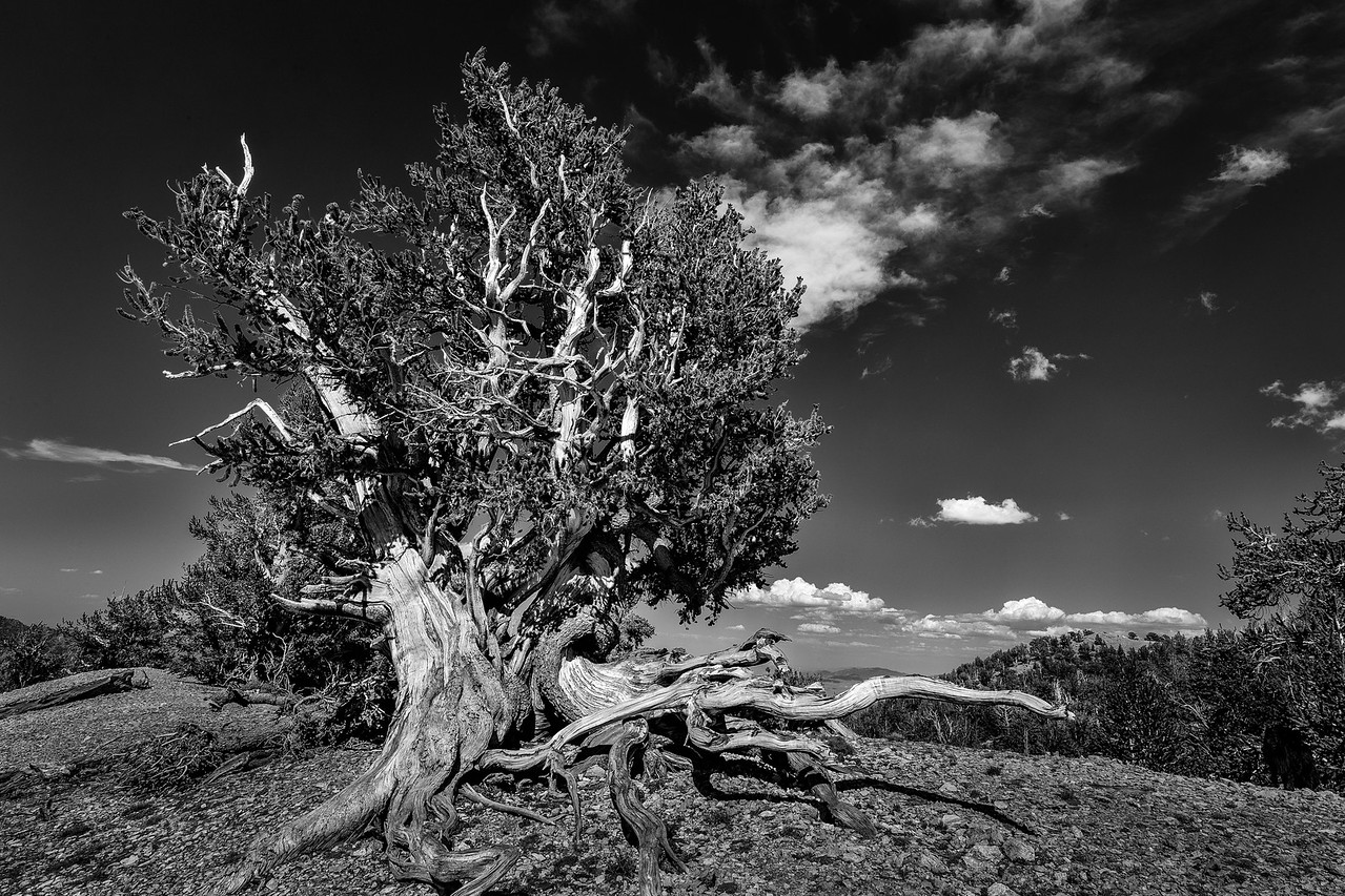 Corkscrew Tree, Ancient Bristlecone Pine Forest
