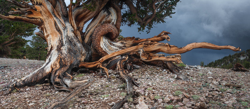 Bristlecone Pine in the Patriarch Grove