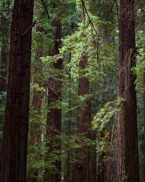Light Filtering Down, Humboldt Redwoods State Park