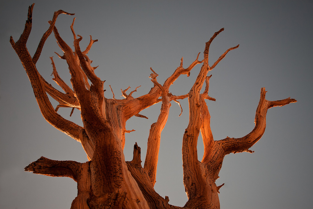 Bristlecone Pine at Dusk
