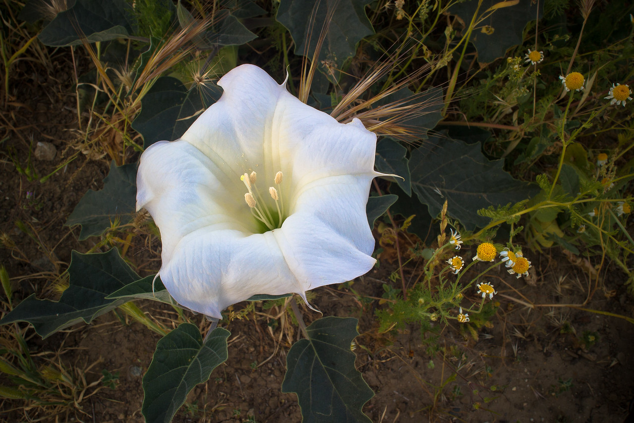 Sacred Datura Bloom with Daisies