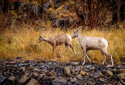 Big Horn Sheep, Snake River