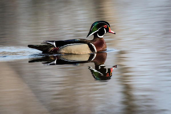 Wood Ducks 2014