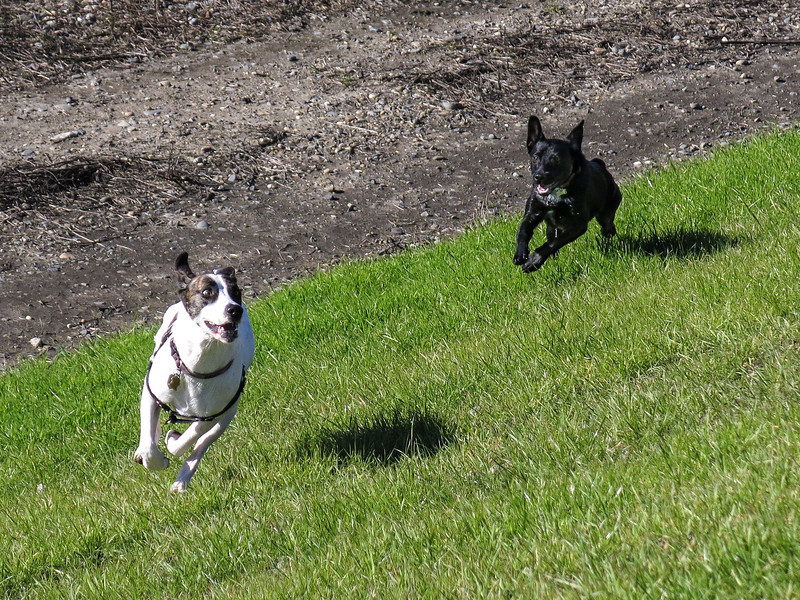Rocky and Bean race along the levee.