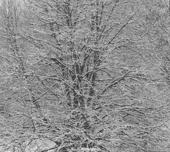 Tree Branches & Snow - Jana Road