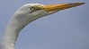 Egret getting ready to take off