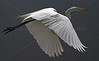 Egret in flight.  These birds are very skittish so it is not quite that easy to catch them close up and in flight.