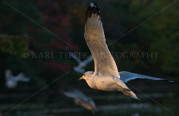 Seagull heading home while flying through fading light of dusk.