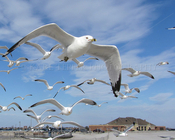 Seagulls at Jones Beach, Atlantic Ocean<br /> This image printed as featured photo in Newsday, March 6, 2012.