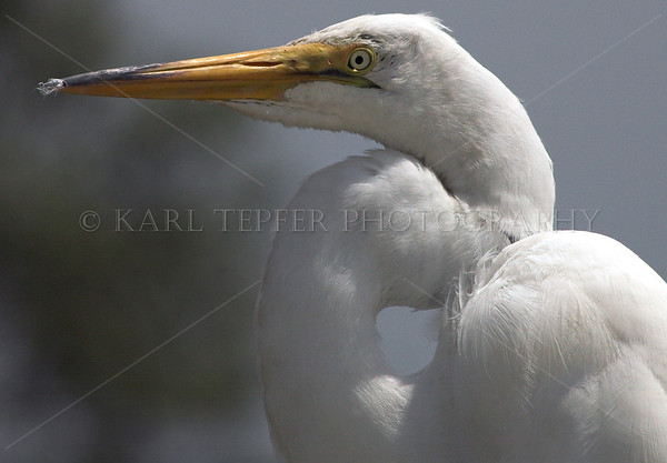 Close up of egret watching me.