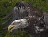 Bale Eagle