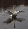 Trying to frighten humans away prior to coming onto land. Large wingspan and honking.