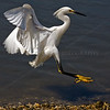 "Final Approach!  Caught this Snowy Egret (Egretta thula) while this little guy was coming in for a landing.  Cropped to exactly square image, such as 10""x10"",<br /> This image printed as featured photo in Newsday, April 23, 2012, having won contest from reader submissions)"