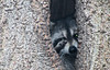 <h2> Racoons living in tree who was either waving hello to me or getting ready to attack.