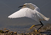 <h2>Snowy Egret coming in for a landing.  Apparently some leftover water in his beak continued in his path! (This image featured in Long Island Explore Magazine, place winner in annual contest)