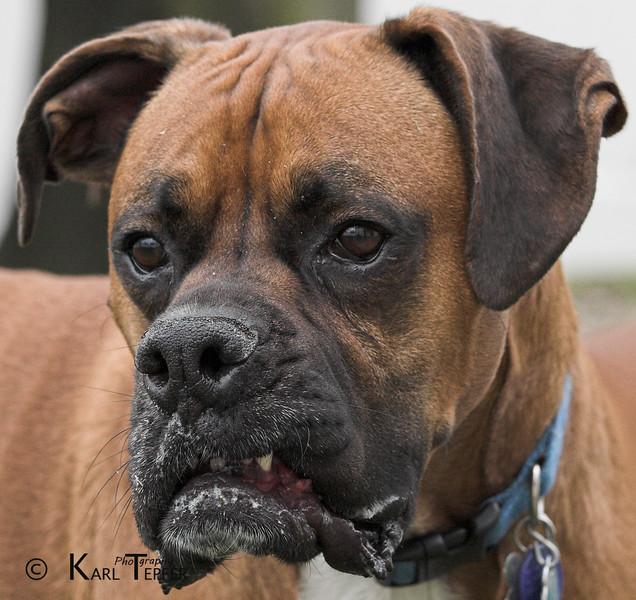 Tyson pretending he is a mean dog