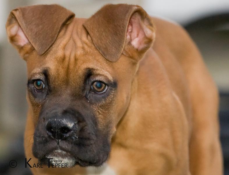 Duke, 10 week old Boxer