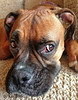 <h2>Riddick: one of my 3 sweet Boxer granddogs.   I have developed, over the years, the ability to narrow down what he is thinking to three possibilities:      1.  What is the meaning of Life?      2.  Is it soon going to be time to eat?      3.  Should I release this noxious pocked of gas I have been storing            for situations like this when Grandpa keeps bothering me           by taking tons of pictures?