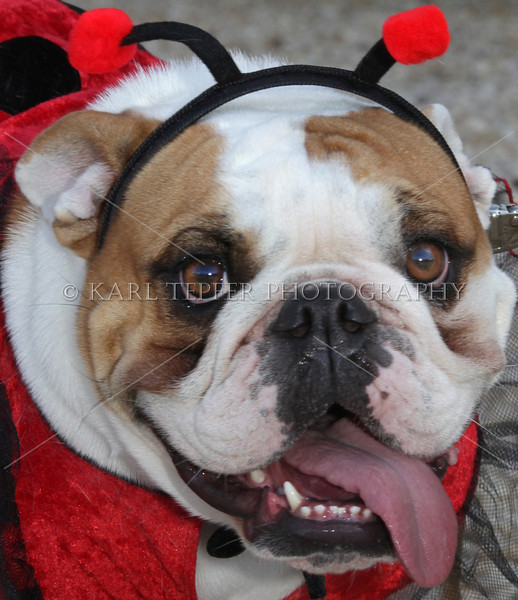 Embarassed bulldog. Old Westbury Gardens canine Halloween Costume Contest.