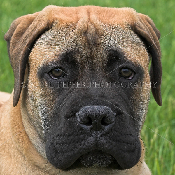 Apollo....puppy Bull Mastiff. Got lots of good shots of him...very cooperative and cute.