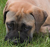 More shots of Apollo, Bull Mastiff.