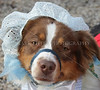 Old Westbury Gardens canine Halloween Costume Contes