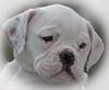 Stella! An extremely cute 9 week old Bulldog at Old Westbury Gardens.  She was there with her daddy, Maximillan.  I'll soon be posting more of Stella along with her dad.