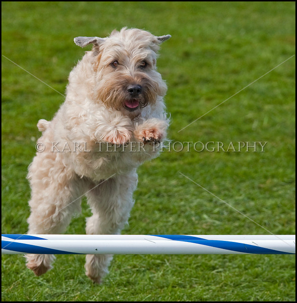 I KNOW I can make it!<br /> Taken at the ACK Agility Trial at Old Westbury Gardens, New York.