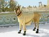 Central Park, Bow Bridge. A big dog in the big city.