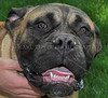 Diebold....puppy Bull Mastiff