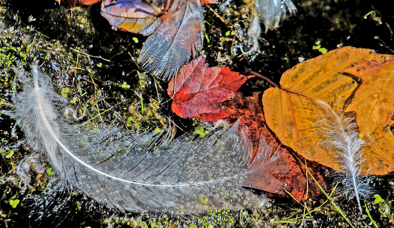 Fall Feathers floating in Cold Spring Harbor