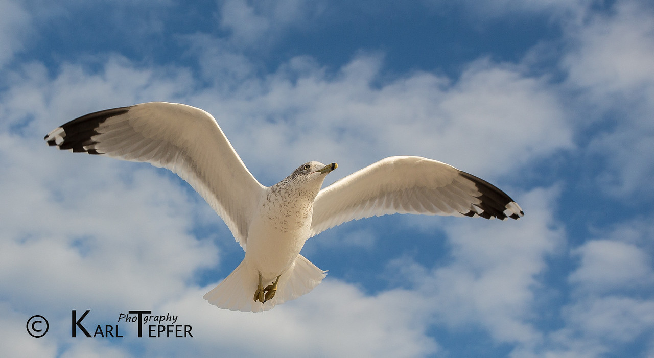 Seagull hovering, waiting for some food on cold winter day at Jones Beach, Long Island.