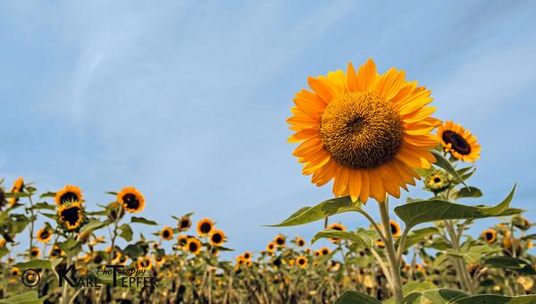 <h2>Sunflower field at Pindar Vinyards Peconic, North Fork of Long Island