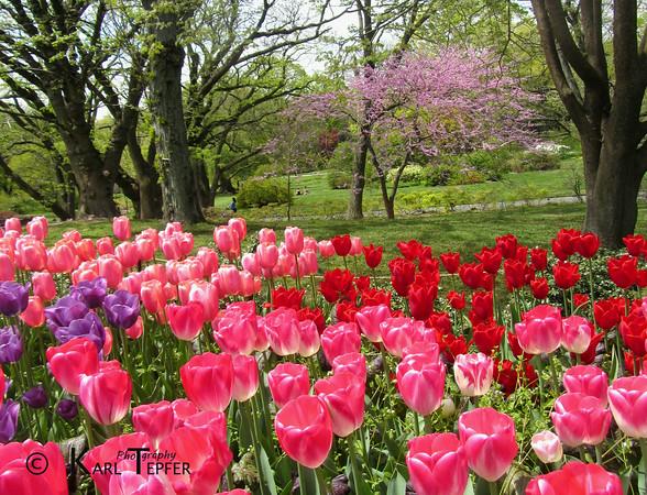 U003ch2u003eBrooklyn Botanic Gardens, Spring 2013 Cherry Trees In Japanese Garden  Past Their
