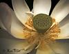 <h2> Sacred Lotus NY Botanical Garden lilly pond, Summer of 2006