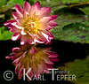 Lotus Flower reflection.  Image made at Bethesda Fountain, Central Park, New York City.