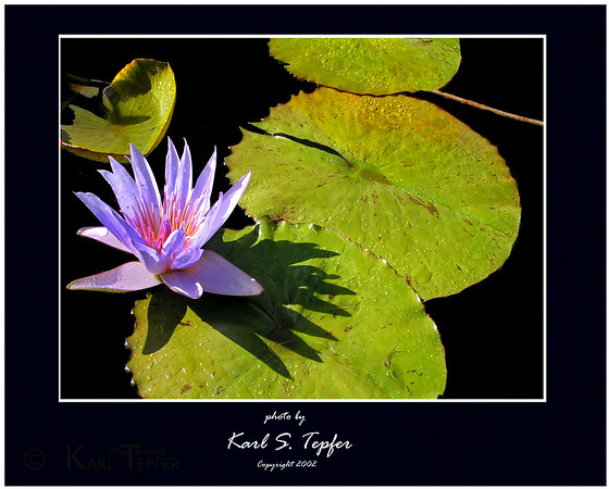 Lilly pond<br /> (c) 2008 Karl Tepfer""