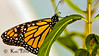 """Looking after the kids...Notice the catepillar directly under the front """"leg"""" of the Monarch Butterfly.  Also a bunch of baby somethings with legs on the leaf to the right of the frame."""