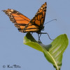 Monarch Butterfly stepping lightly.