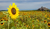 <h2>Sunflower field at Pindar Vinyards Peconic, North Fork of Long Island