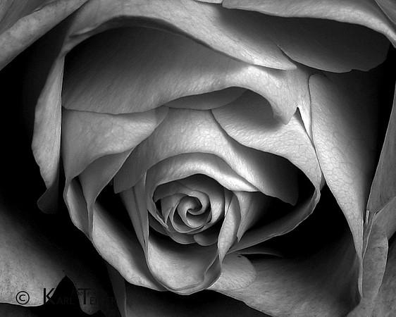 """Rose: Black and White          <br /> (c) 2009 Karl Tepfer"""""""