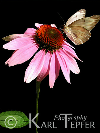 """Flower  and butterfly<br />  (c) 2008 Karl Tepfer"""""""